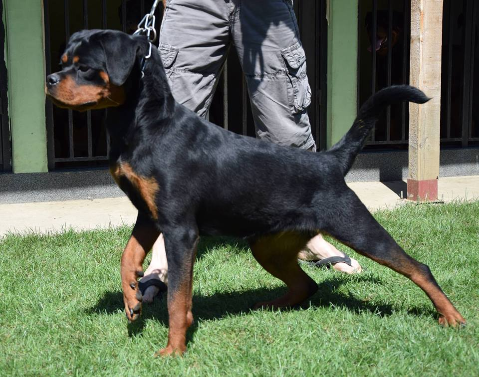 Rottweiler - Aba house of black knight's