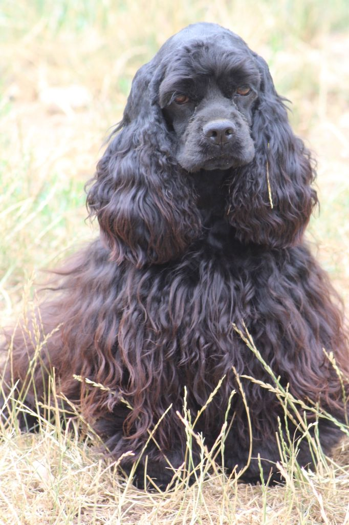 Les American Cocker Spaniel de l'affixe of caniland's dream