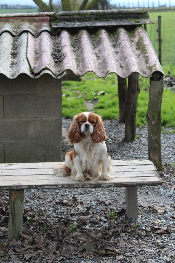 Les Cavalier King Charles Spaniel de l'affixe des bois de la bro