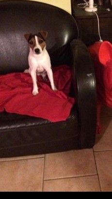 Les Jack Russell Terrier de l'affixe du Clos Saint Agathe