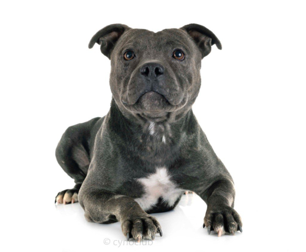 Les Staffordshire Bull Terrier de l'affixe du royaume des hauts de Nimes