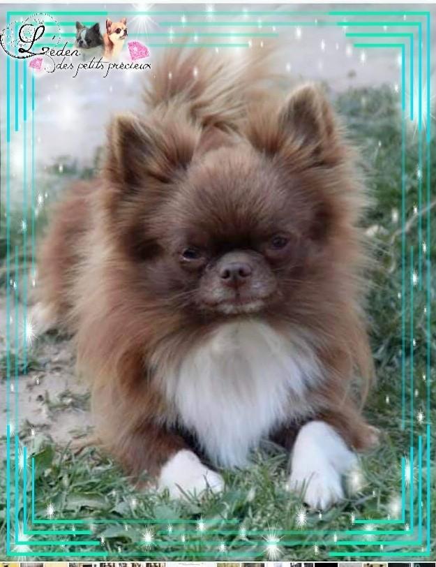 Les Chihuahua de l'affixe De L'Eden Des Petits Precieux
