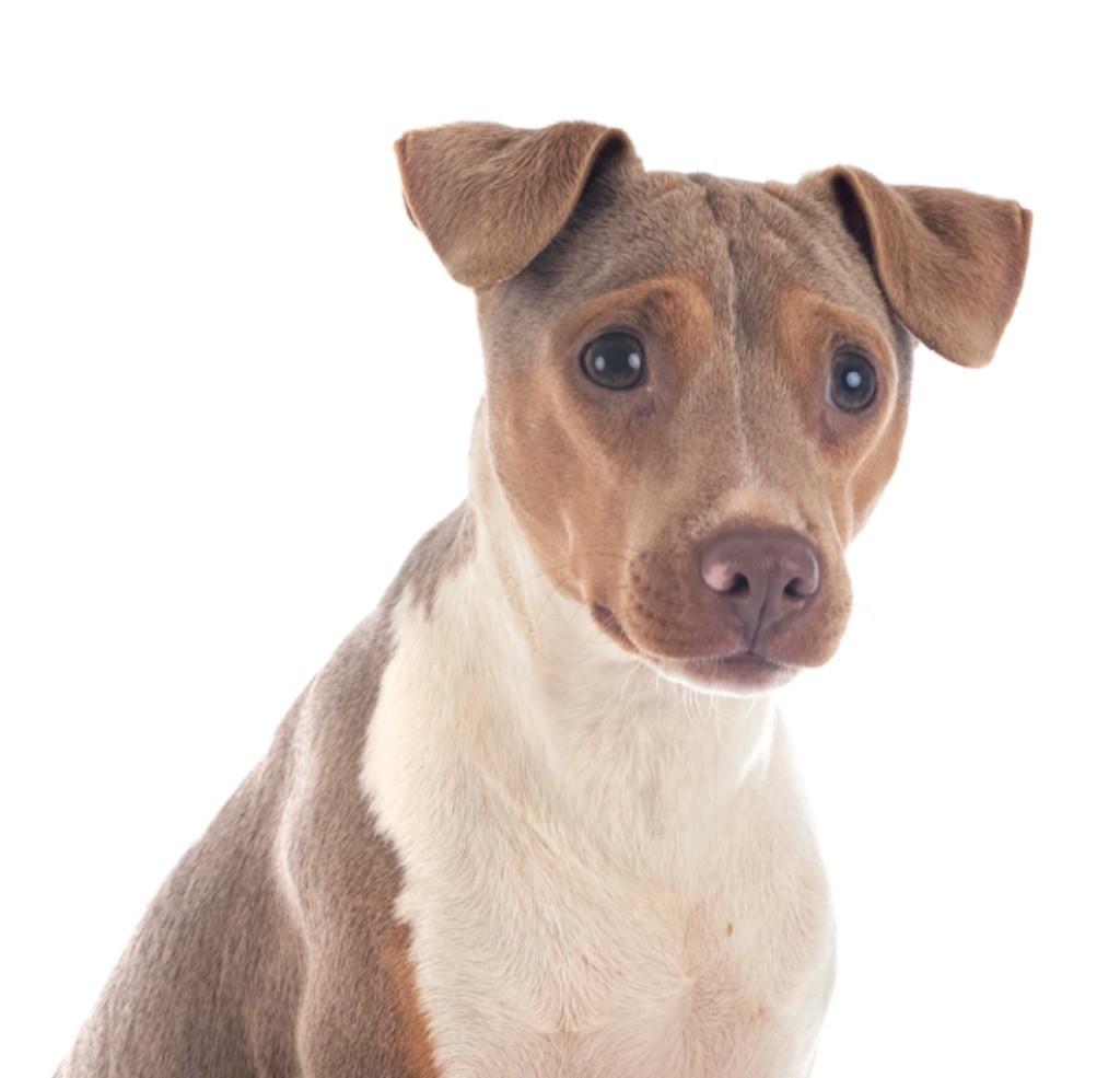 Les Terrier Bresilien de l'affixe du royaume des hauts de Nimes