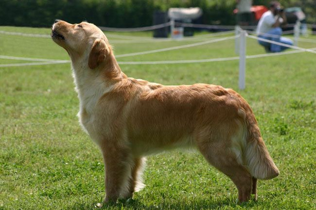 Golden Retriever - CH. Royal crest Gold-n vanilla sky