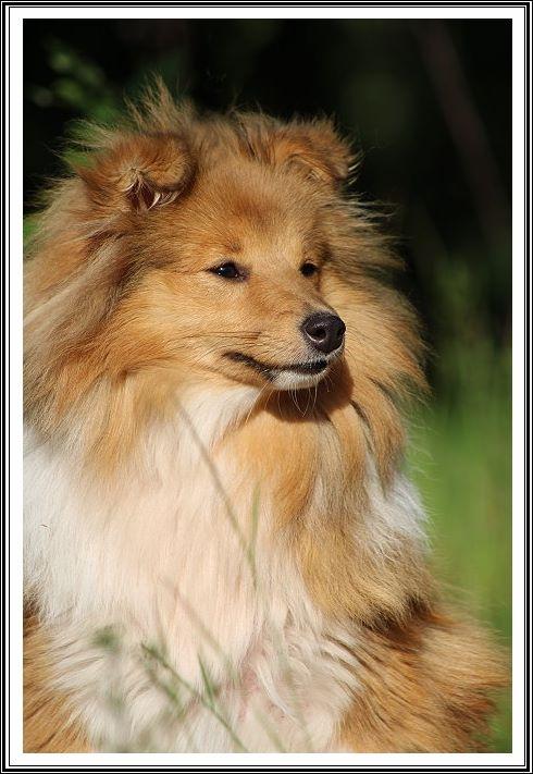 Les Shetland Sheepdog de l'affixe du bois des amazones