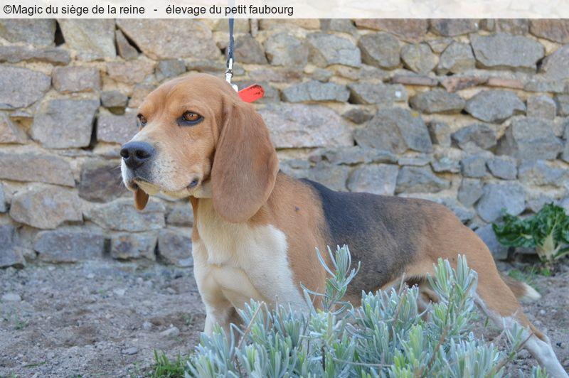Les Beagle de l'affixe Du Petit Faubourg
