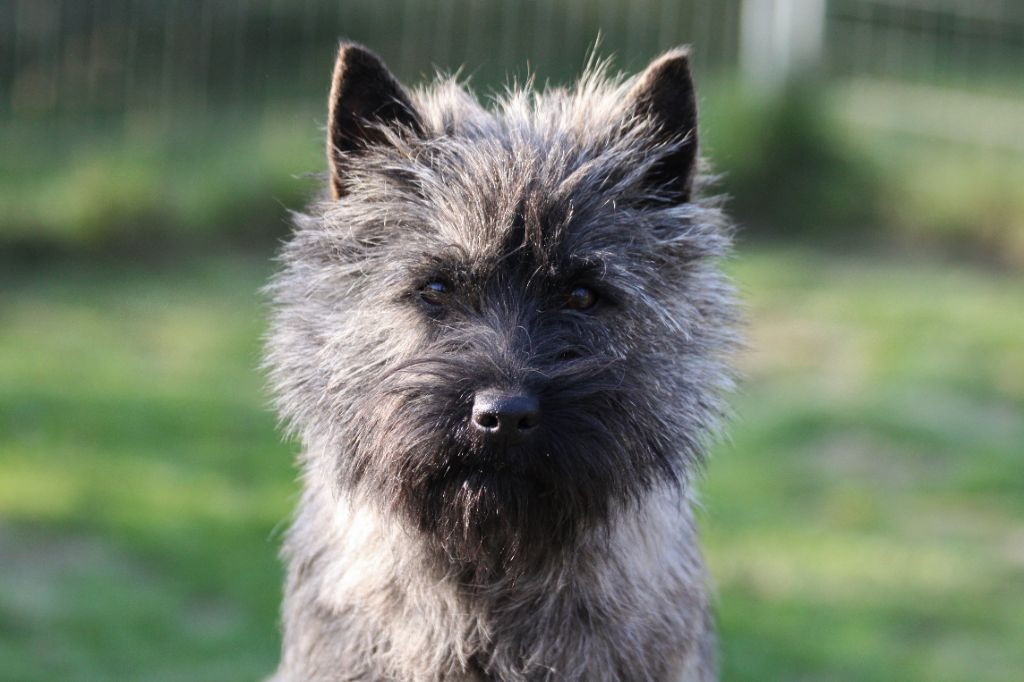 Les Cairn Terrier de l'affixe d'Isarudy