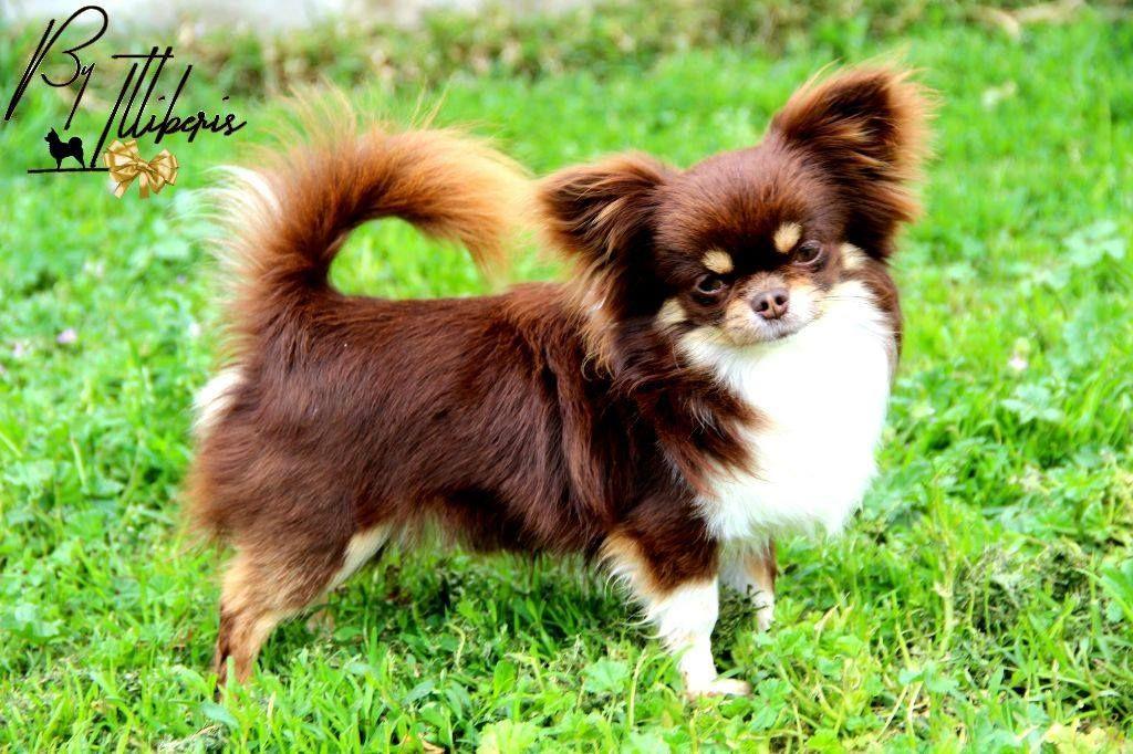 Les Chihuahua de l'affixe De La Plaine D'illiberis