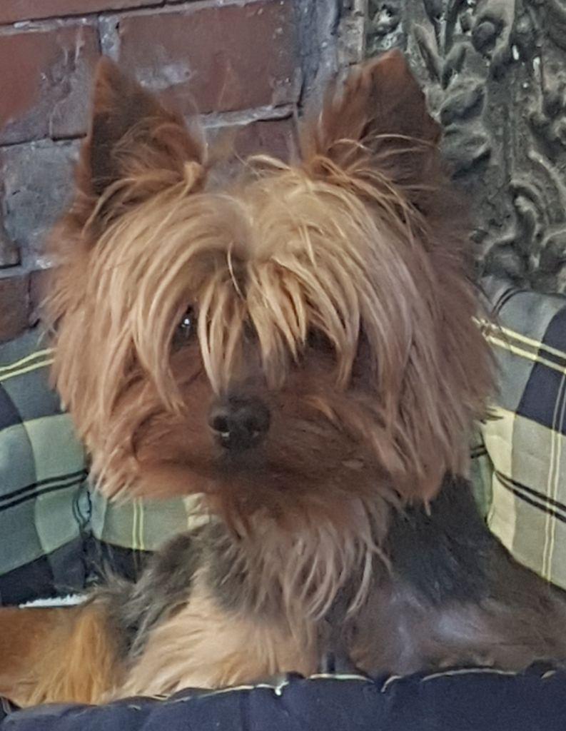 Les Yorkshire Terrier de l'affixe Des marais de courmont