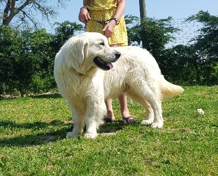 Les Golden Retriever de l'affixe de l eternel mitness