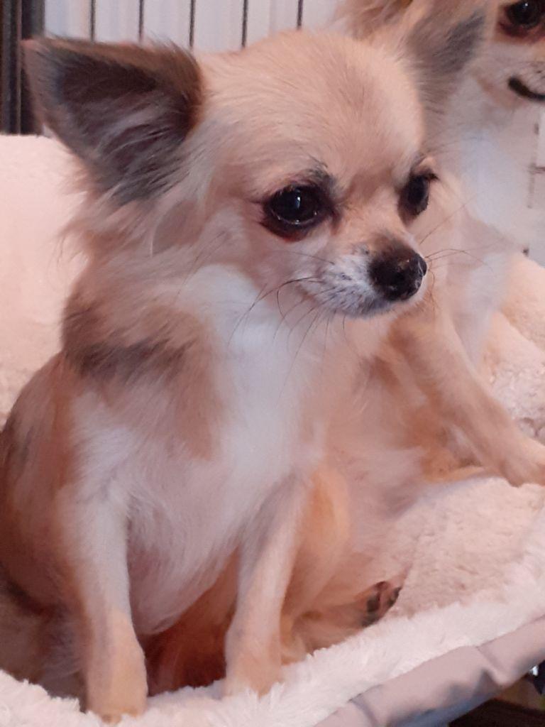 Les Chihuahua de l'affixe Du Grand Castang