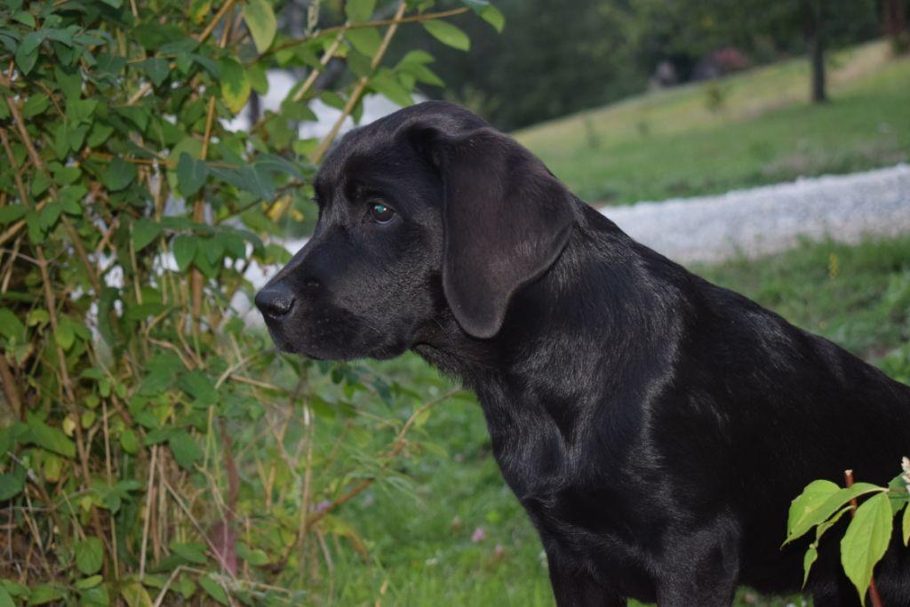 Les Labrador Retriever de l'affixe Des Mystères De La Forêt