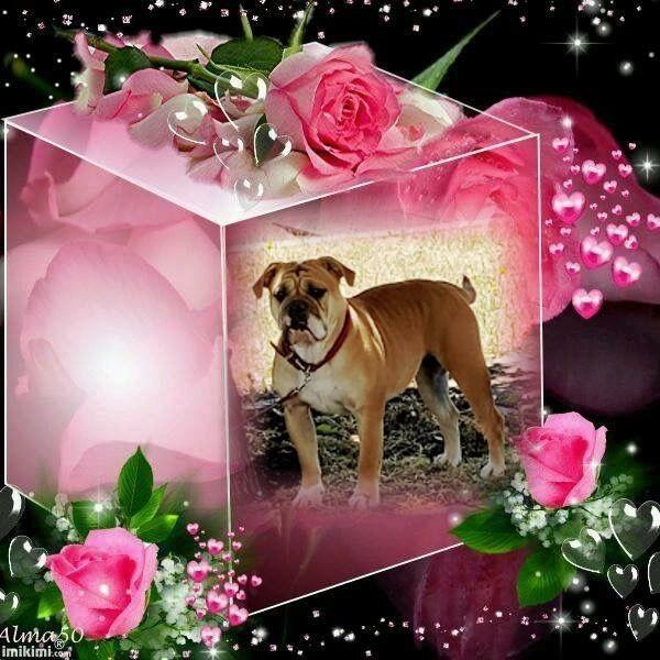 Les Bulldog continental de l'affixe des chemins du bout du monde