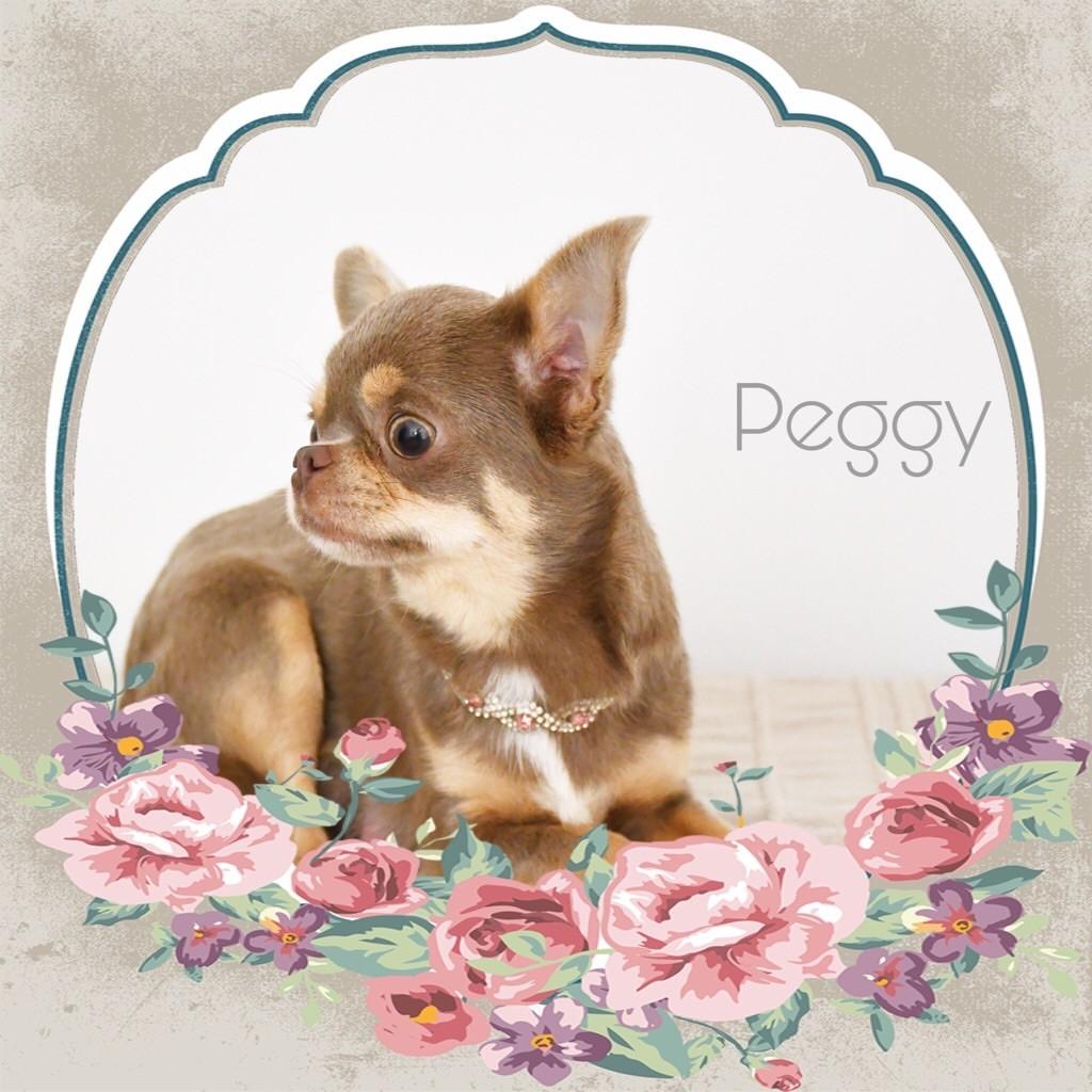 Les Chihuahua de l'affixe de l'Eden des Petits Monarques