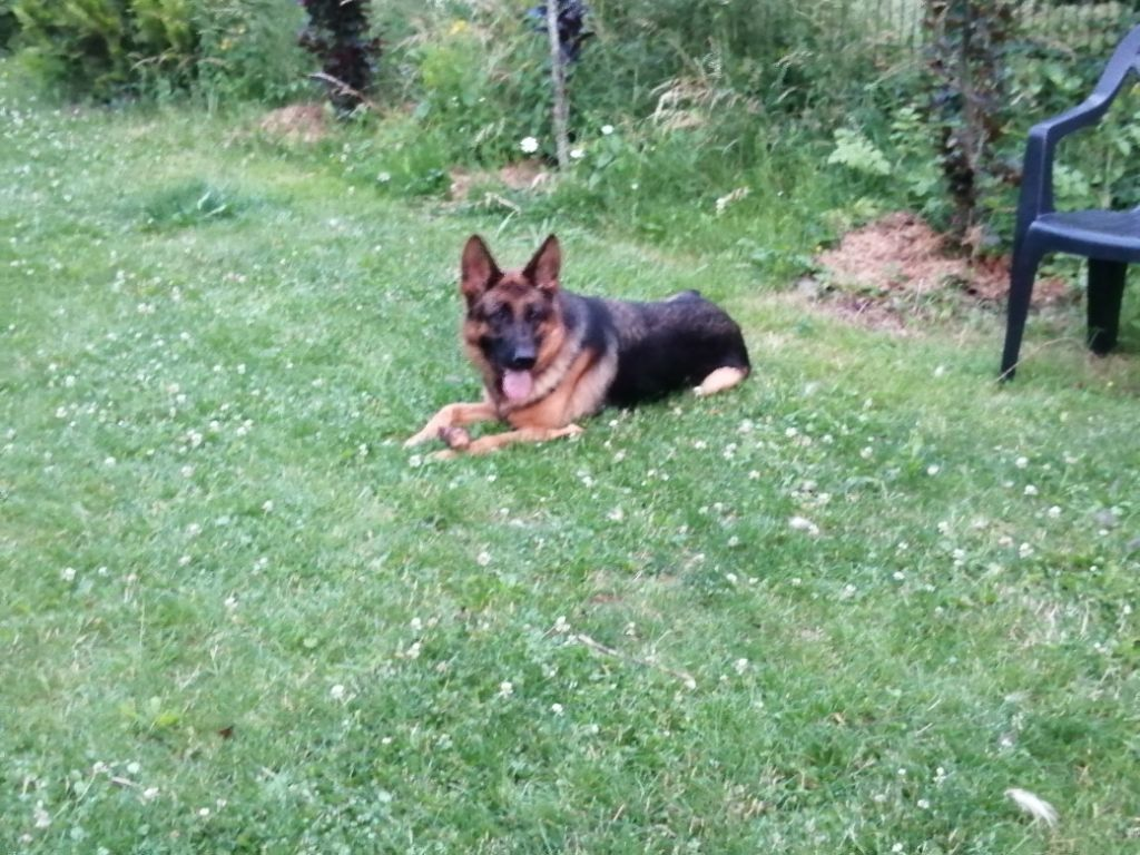Chien - Elevage du Sol Invictus - eleveur de chiens Berger allemand