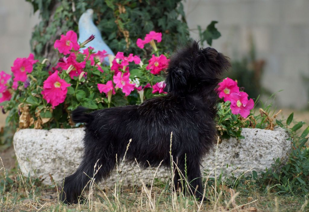 Les Affenpinscher de l'affixe Sweeties Doggies