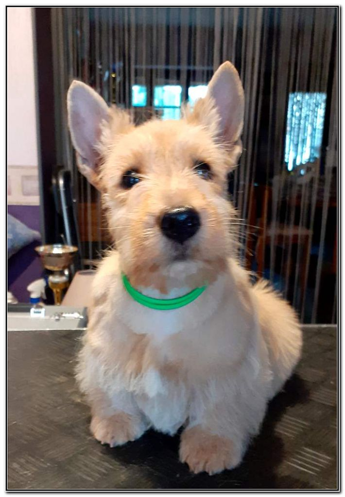 Scottish Terrier - Ritzy rambler du Clan des Petits Colonels