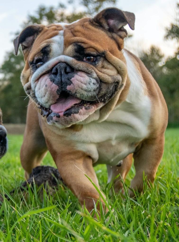 Les Bulldog Anglais de l'affixe Du Domaine D'Auberive