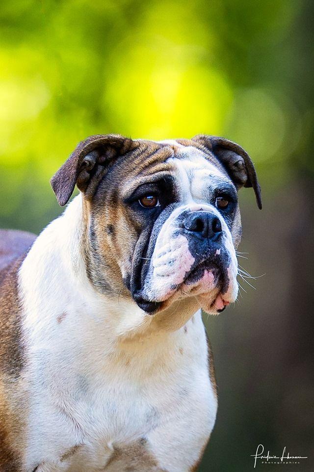 Les Bulldog continental de l'affixe de Bellemanie