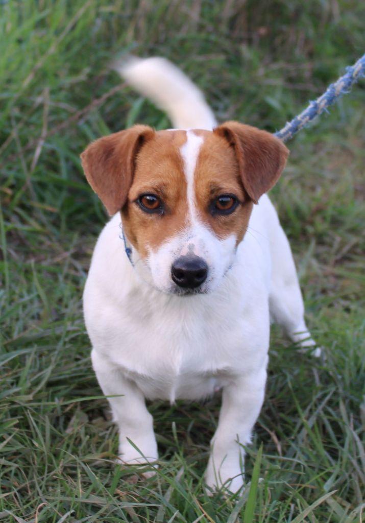 Les Jack Russell Terrier de l'affixe Du normont
