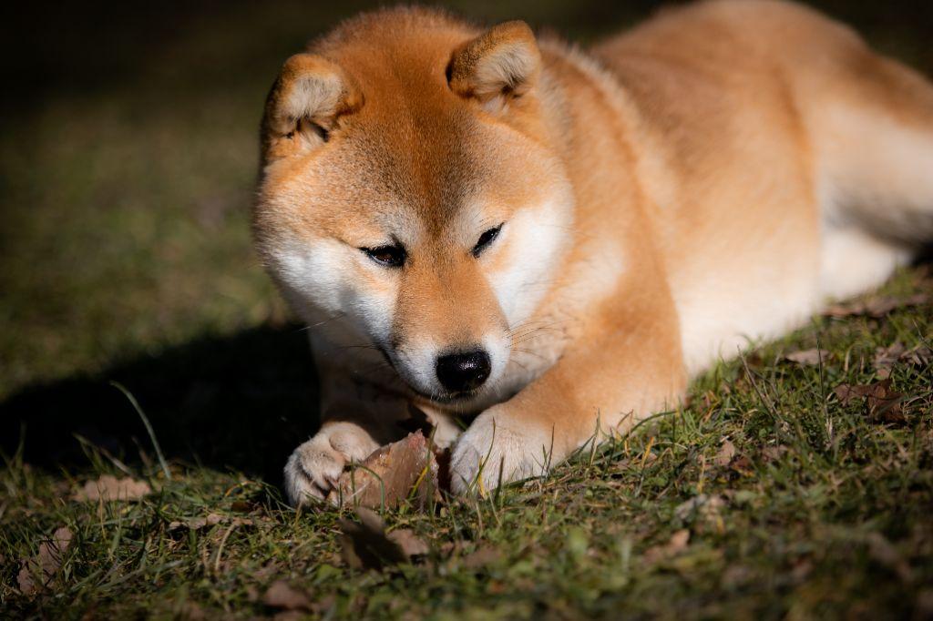 Les Shiba de l'affixe du bois de compiègne