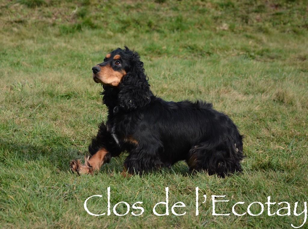 Les Cocker Spaniel Anglais de l'affixe Du Clos De L'Ecotay