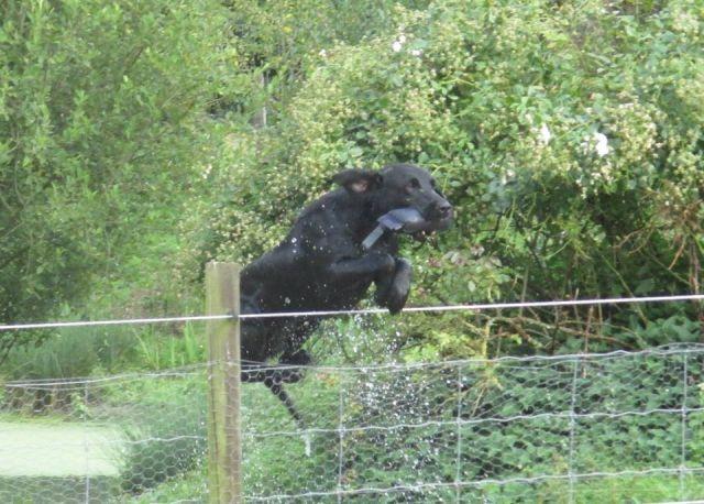 Les Labrador Retriever de l'affixe Déclic