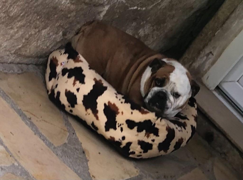 Les Bulldog Anglais de l'affixe Des Canailles De Boubou
