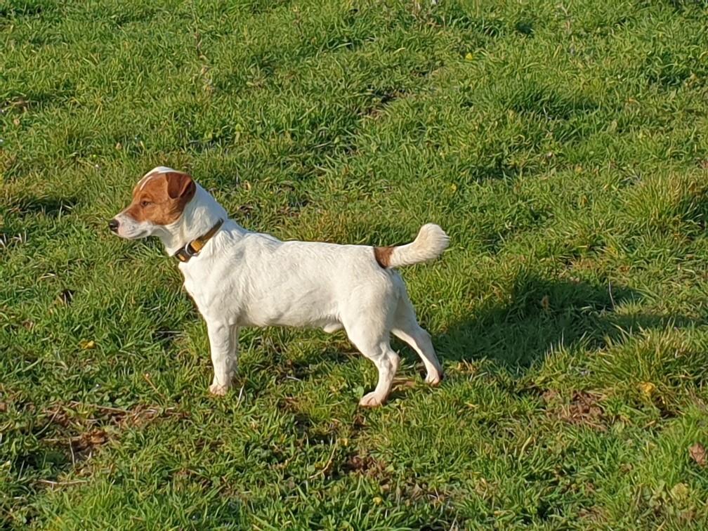 Les Jack Russell Terrier de l'affixe du bois de Mirapied