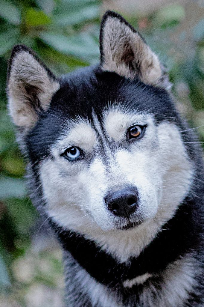Les Siberian Husky de l'affixe of Edelweiss Forever