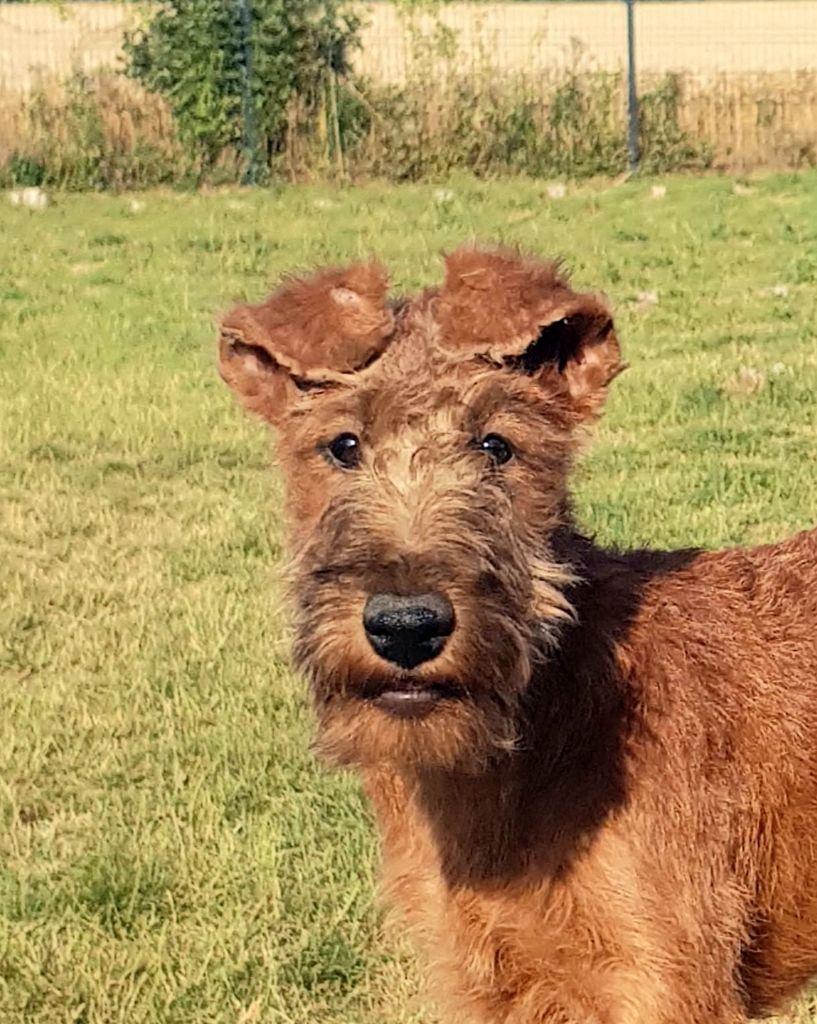 Les Irish Terrier de l'affixe D'imyrrha