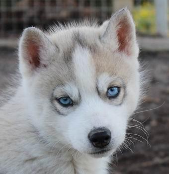 Chiot Siberian Husky, mâle gris yeux bleus 1, mâle