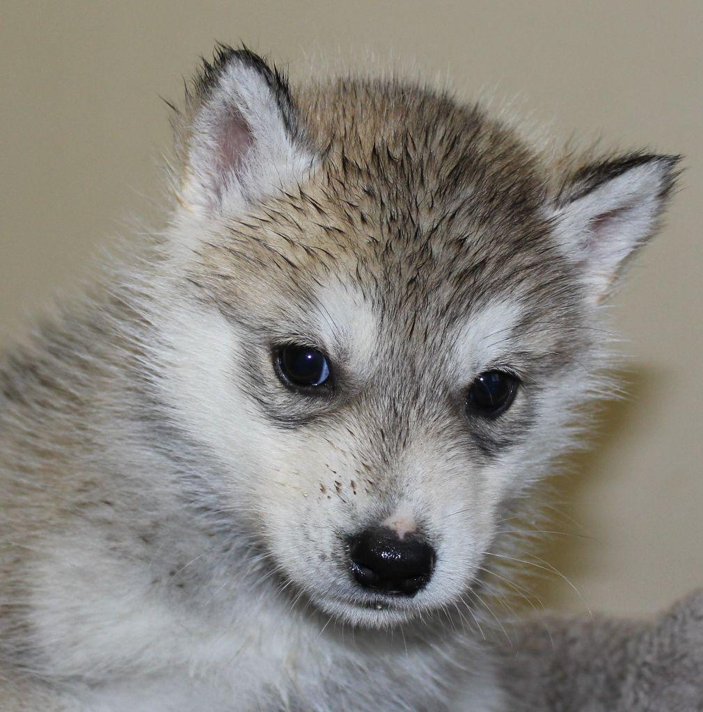 Of watson lake - Chiot disponible  - Siberian Husky