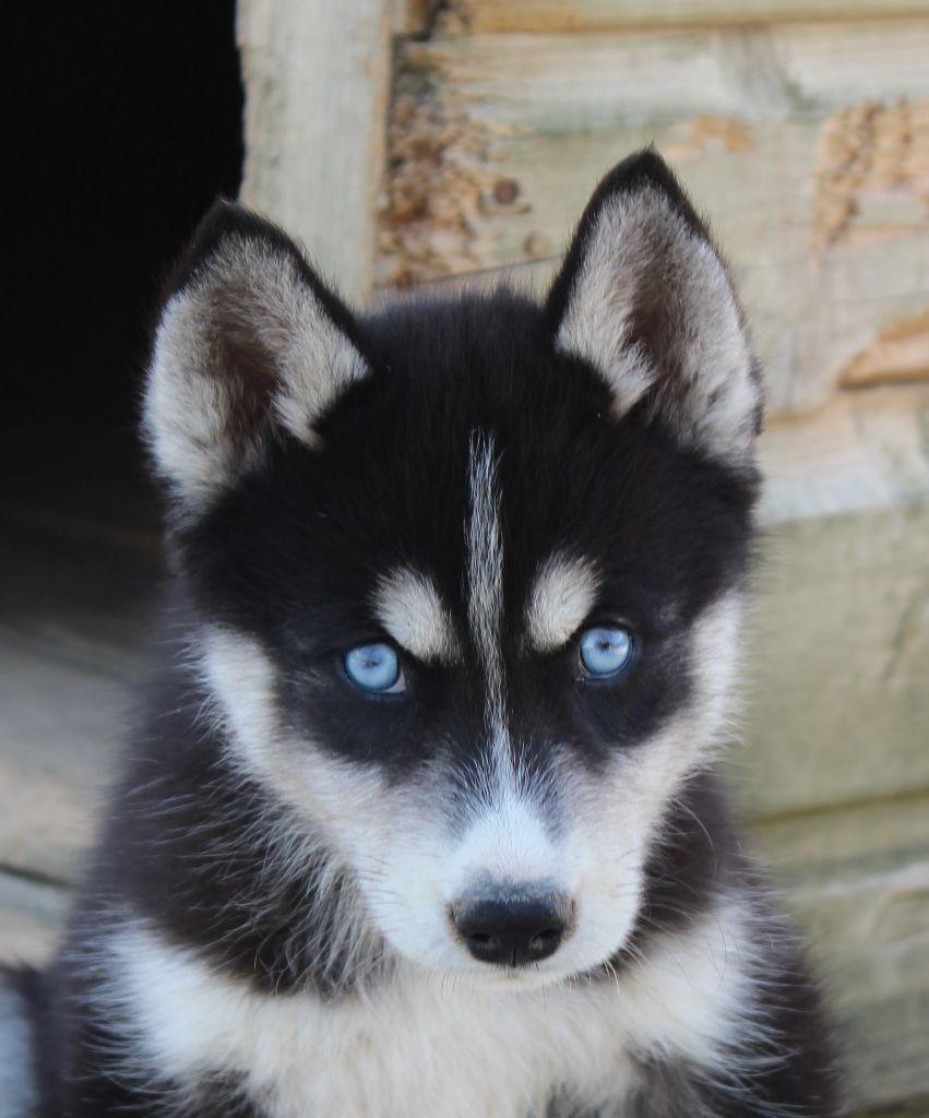 chiot Siberian Husky Of watson lake