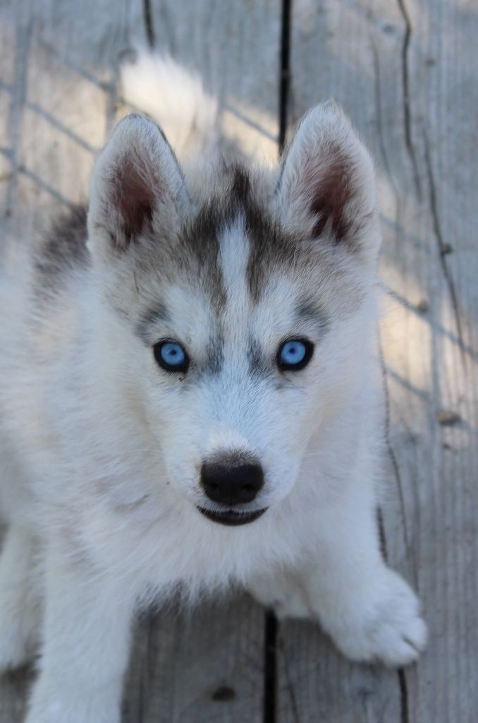 chiot Siberian Husky Of watson lake