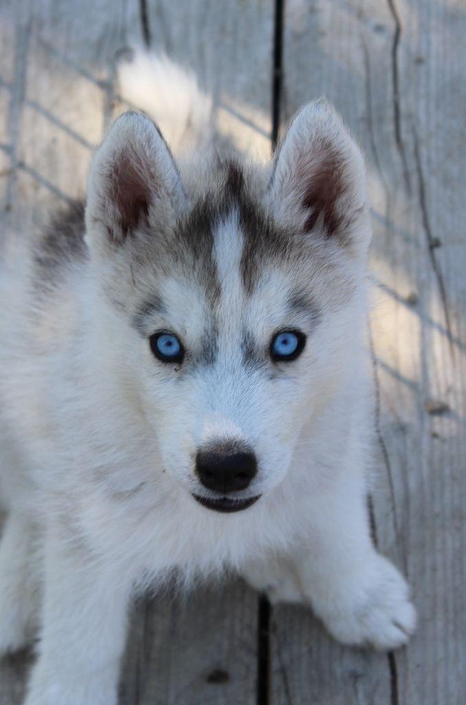 Of watson lake - Siberian Husky - Portée née le 24/05/2018