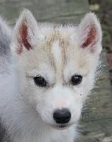 Of watson lake - Siberian Husky - Portée née le 24/08/2017