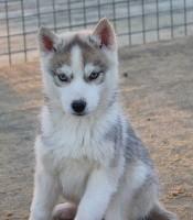 mâle gris yeux bleus