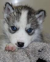 femelle grise yeux bleus