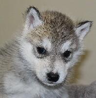 mâle gris yeux marrons