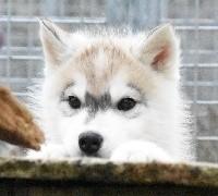 Of watson lake - Siberian Husky - Portée née le 30/12/2017
