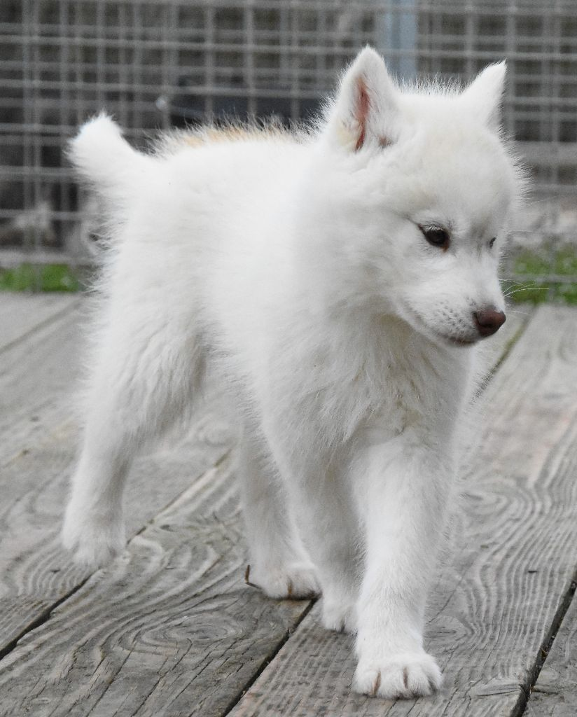 Of watson lake - Chiot disponible  - Siberian Husky