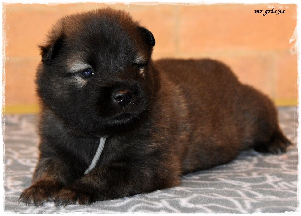 des Legendes de Retz - Chiot disponible  - Eurasier