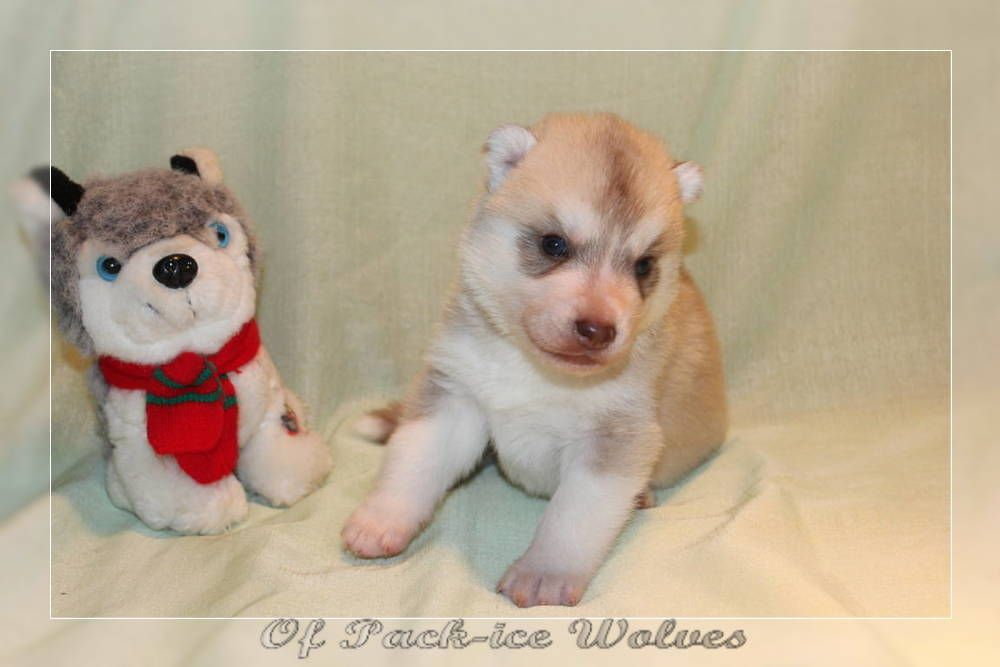 Of pack-ice wolves - Chiot disponible  - Siberian Husky