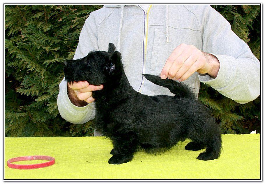 du Loch D'Ergué - Chiot disponible  - Scottish Terrier