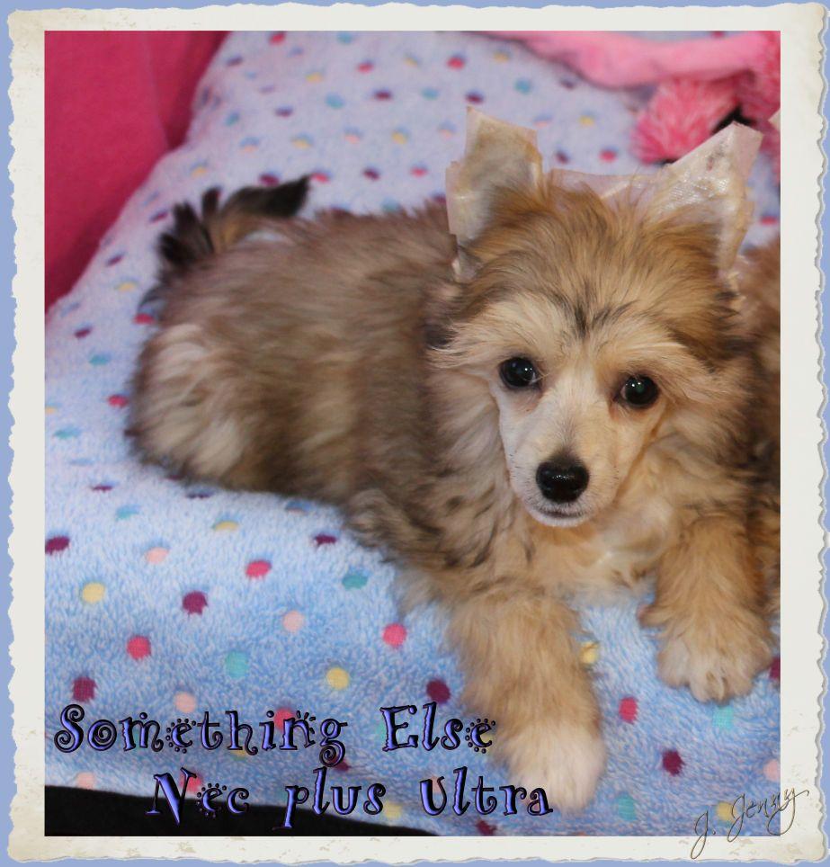 Something Else - Chiot disponible  - Chien chinois à crête