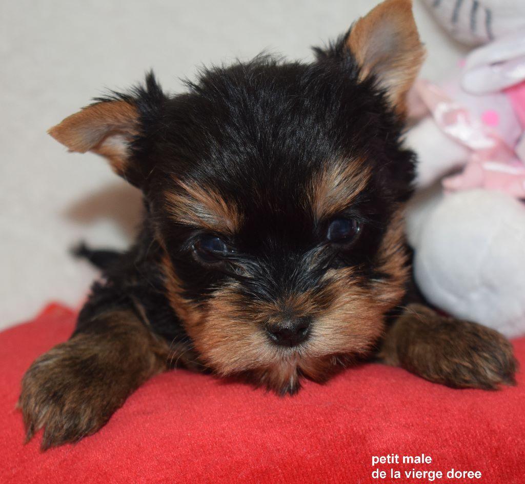 De la vierge doree - Chiot disponible  - Yorkshire Terrier