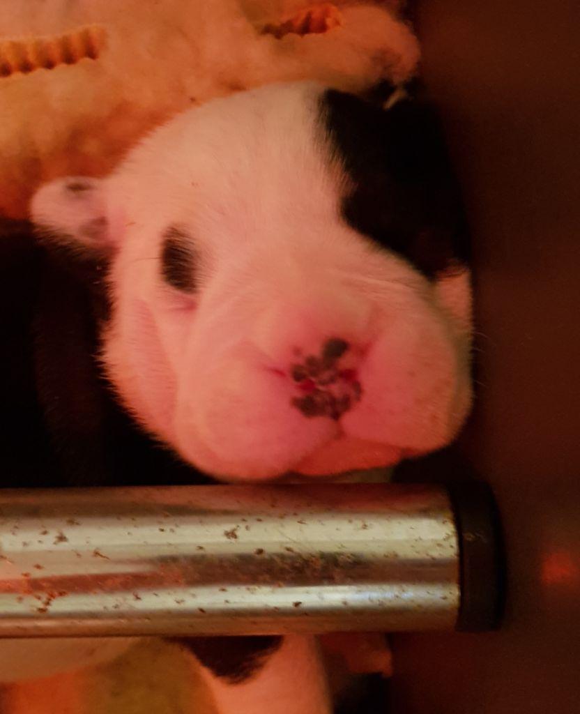 De la queue du grill - Chiot disponible  - Bulldog continental