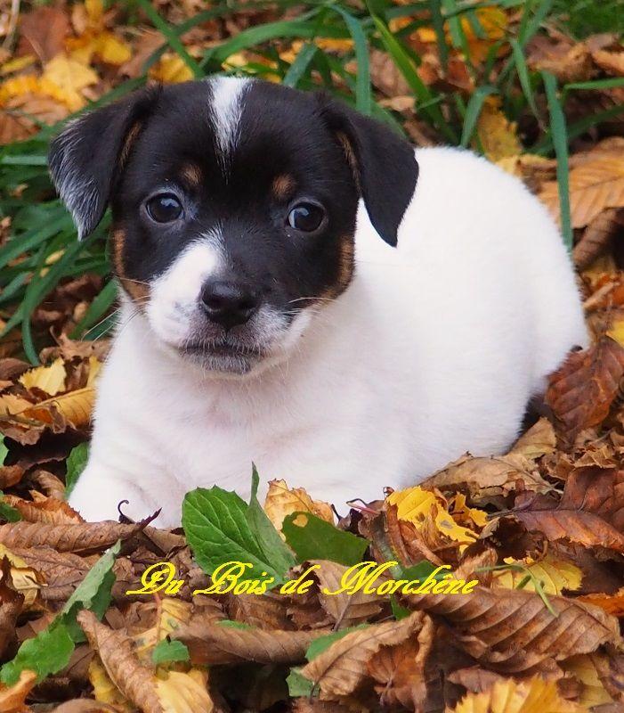Chiot Jack Russell Terrier Ralltiir Male Disponible En Normandie 14 Calvados Toutes Les Portees Les Chiots De Race Les Eleveurs Et Chiens De Race Sont Sur Chiens De France Com