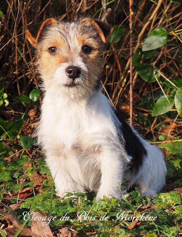 du bois de Morchène - Chiot disponible  - Jack Russell Terrier